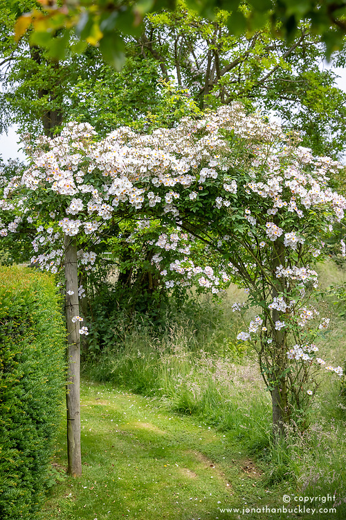 Rosa 'Francis E. Lester' growing over an arch
