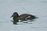 White-winged Scoter (Melanitta fusca), Goose Spit, Vancouver Island, Canada - note tracking antennae   Photo: Peter Llewellyn