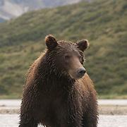 Alaskan Brown Bear (Ursus middendorffi) adult in a river fishing for salmon. Katmai National Park, Alaska