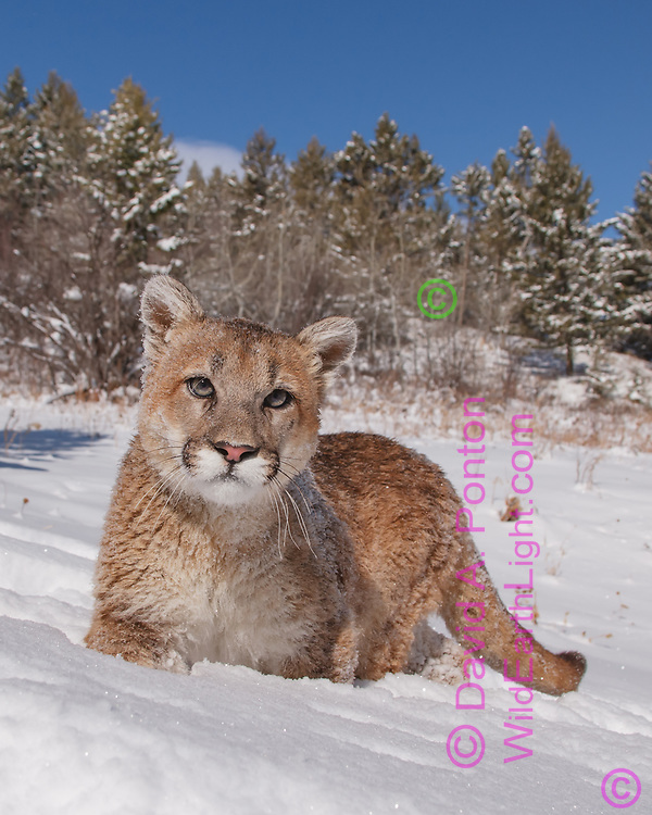 Young mountain lion frontal portrait in snow, © David A. Ponton