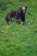 Eurasian brown bear, Ursus arctos, at wildlife watching place, North Velebit National Park,  Velebit Nature Park, Rewilding Europe rewilding area, Velebit  mountains, Croatia