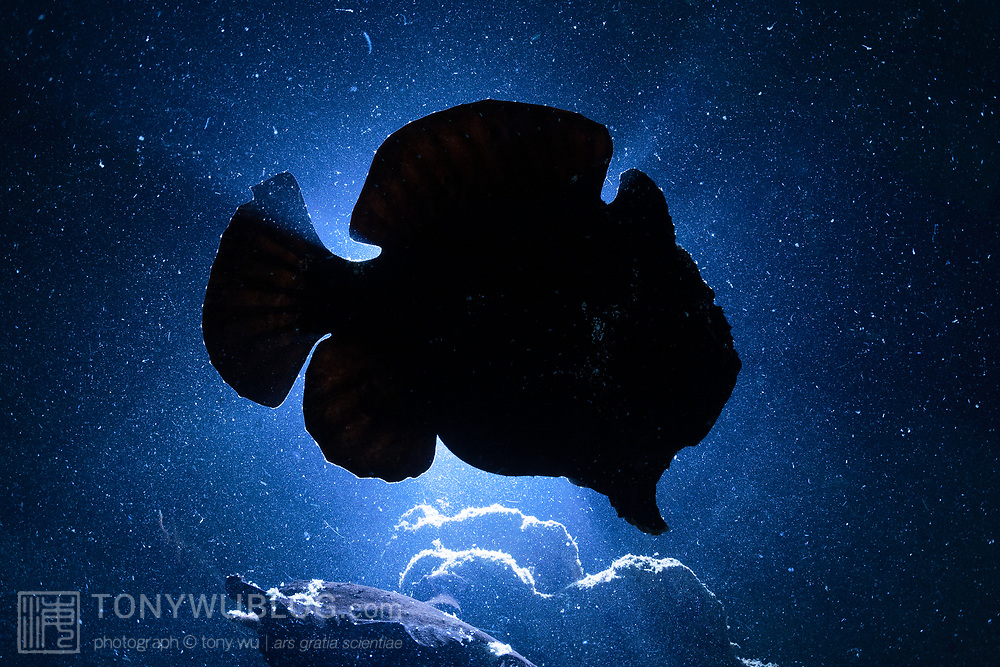 Silhouette of giant frogfish (Antennarius commerson) in Ambon, Indonesia. One of four pitch-black frogfish clumped together among large sponges in turbid water with poor visibility
