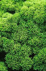 English curvy leaved parsley - Petroselinum crispum