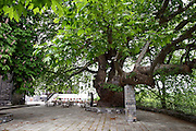 Greece, Thessaly, Tsagarada on the slopes of mount Pelion A large Platan tree in the city center