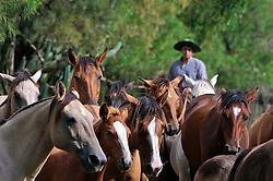 Gaudério conduz tropa de cavalos. FOTO: Eduardo Rocha/Preview.com