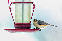 Yes, yes, I hear you out there, I'll fill your feeder Mr. Titmouse!