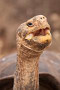 Portrait of a giant galapagos tortoise (Geochelone elephantopus) . Darwin Center, Santa Cruz Island, Galapagos Archipelago - Ecuador.