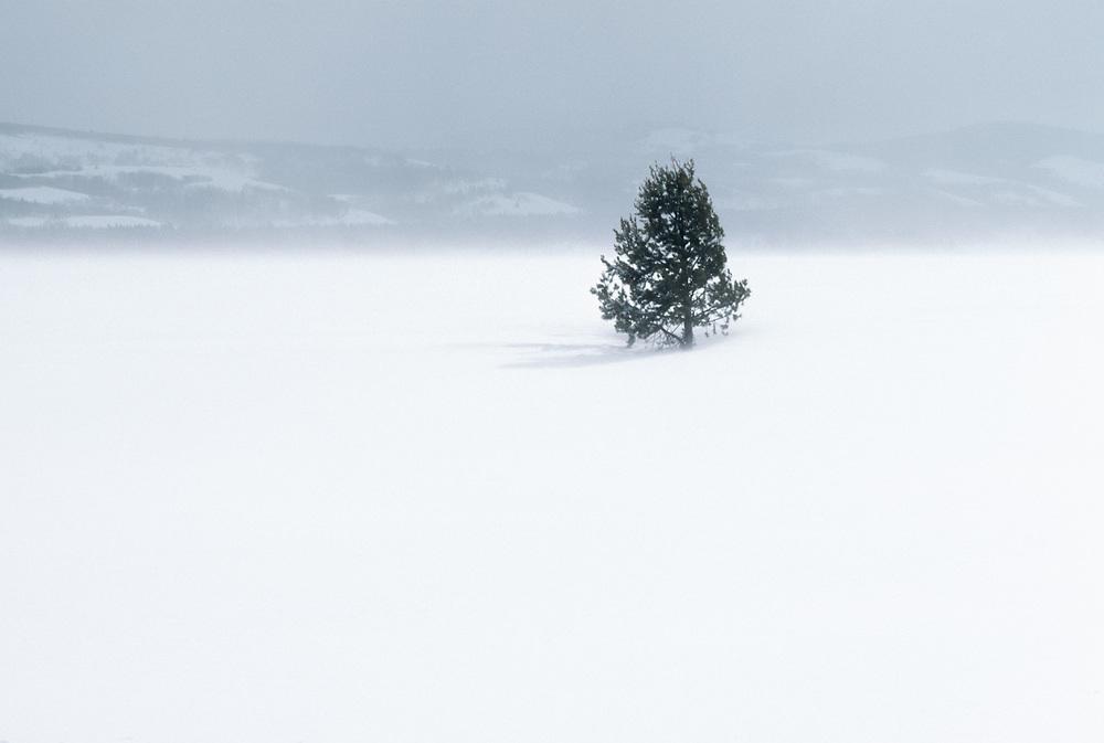 Lone pine tree, windblown ice, winter, Grand Teton National Park, Wyoming, USA