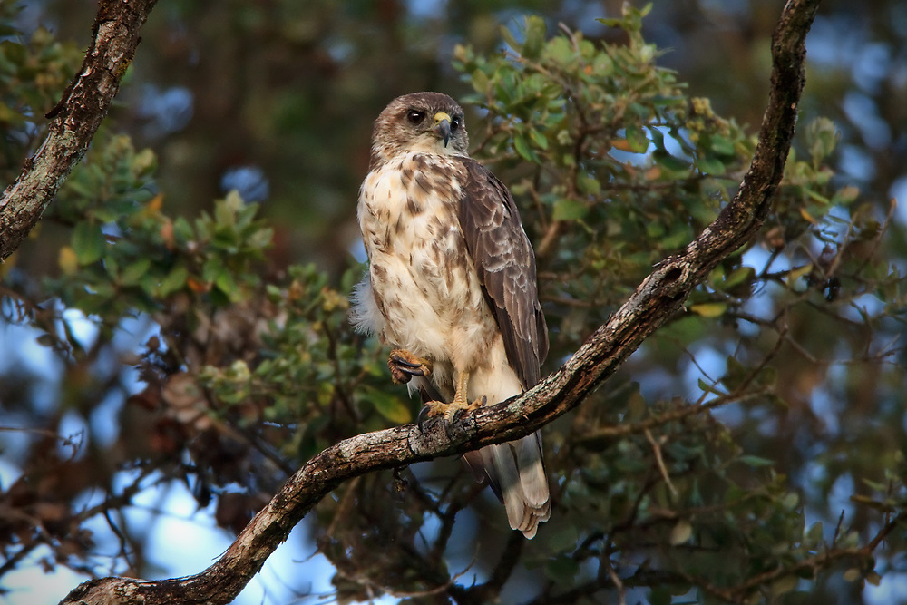 A majestic 'Io sits high atop an ohia branch, overlooking her native forest home.  Every bird and rodent within earshot has taken cover out of respect for her predatory hunting habits.<br /> <br /> The endangered 'Io (Buteo solitarius), also known as the Hawaiian Hawk, is endemic to the island of Hawai'i and is one of just two native bird of prey.