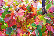 Domaine Haut-Lirou in St Jean de Cuculles. Pic St Loup. Languedoc. Vine leaves. France. Europe.