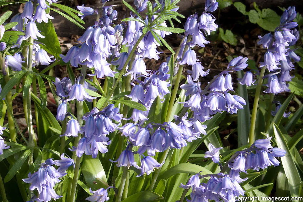 Bluebells<br /> *ADD TO CART FOR LICENSING OPTIONS*