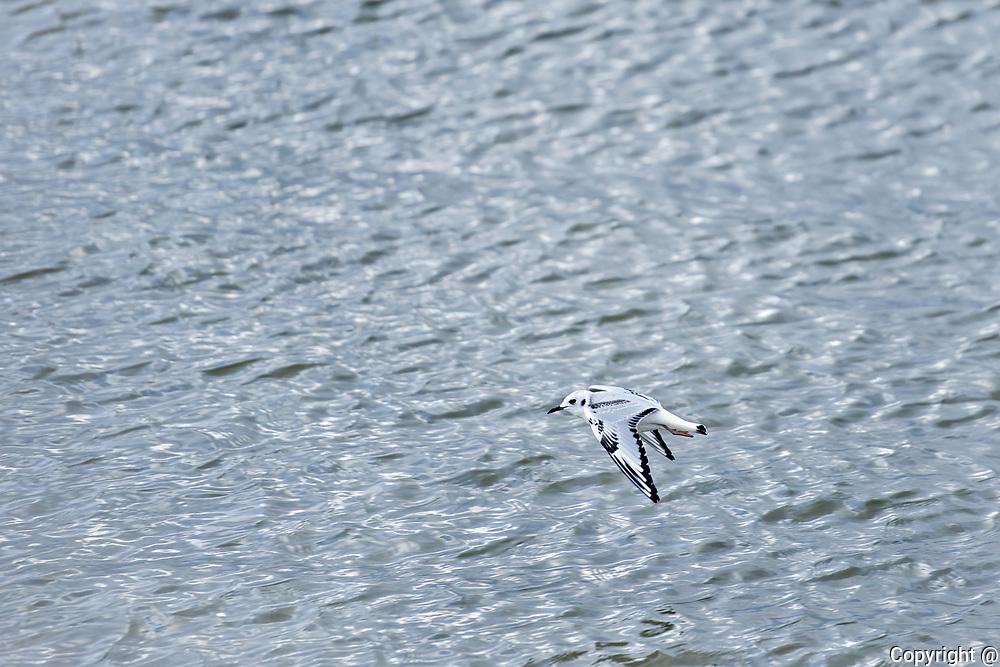 ( A little gull Hydrocoloeus minutus) flies over Lake Winnipeg<br />Winnipeg Beach<br />Manitoba<br />Canada