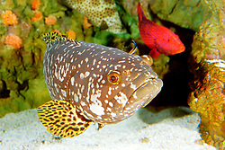 giant grouper, Epinephelus lanceolatus, or Queensland grouper, juvenile, the largest grouper in the world, grows up to 3 m, 400 kg, getting cleaned by cleaner wrassses, Indo-Pacific Ocean (c)