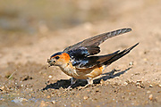 Red-rumped Swallow (Hirundo daurica) on ground with beakful of mud for nest building, Bulgaria