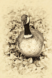 This golden tones goose gives a gander from a bed of leaves