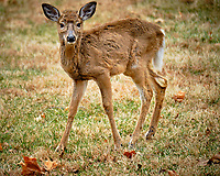 Scraggly yound doe. Image taken with a Fuji X-T2 camera and 100-400 mm OIS lens (ISO 200, 400 mm, f/5.6, 1/70 sec).