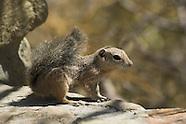 Yuma Antelope Squirrel, Ammospermophilus harrisi
