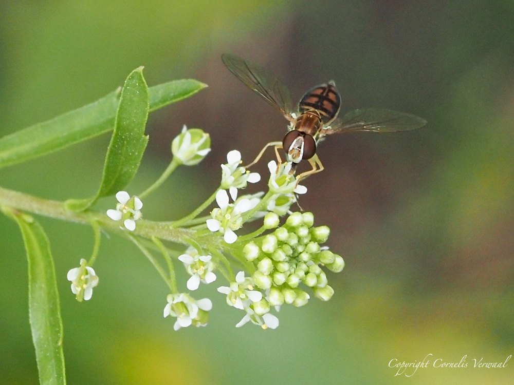 A Margined Calligrapher fly delicately balancing on a tiny flower.