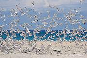 crested terns or swift terns, Sterna bergii or Thalasseus bergii, Turu Cay, Torres Strait, Queensland, Australia