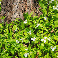 """""""Woodland Trillium""""<br /> <br /> Beautiful white Trillium growing in the woods around the base of a tree in Northern Michigan!!<br /> <br /> Flowers and Wildflowers by Rachel Cohen"""