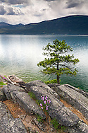 A Ponderosa Pine (Pinus ponderosa) growing on the rocky shore of Okanagan Lake at Otter Beach in Ellison Provincial Park