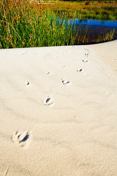 Footprints left in the sand by birdlife leading to a small pond. Moreton Island National Park.