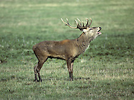 Red Deer Cervus elaphus Shoulder height 100-130cm Male (stag) is our heaviest deer. Size varies with region – southern animals are larger than northern ones. Lives in separate sex herds for much or year. Adult is reddish in summer but dark brown in winter. Has whitish rump patch and buffish brown tail. Only male has antlers: appear in spring, mature in autumn, shed in winter. Number of antler points increases with age. Calf is reddish brown with white spots. Female (hind) bleats and male utters bellowing roars during autumn rut. Common and native in Scotland. Locally also in Lake District, Exmoor, the New Forest and Norfolk.