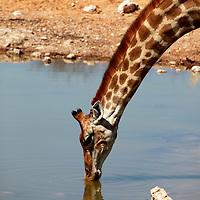 Africa, Namibia, Etosha. Angolan Giraffe in Etosha.