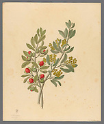 Octandria Monog. [Pappea capensis] (1817) ( Jacket plum, Indaba tree and bushveld cherry) from a collection of ' Drawings of plants collected at Cape Town ' by Clemenz Heinrich, Wehdemann, 1762-1835 Collected and drawn in the Cape Colony, South Africa