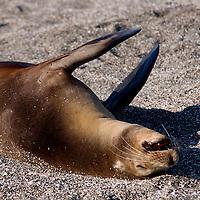 South America, Ecuador, Galapagos Islands, Santiago Island, James Island, Port Egas. Relaxing Sea Lion.