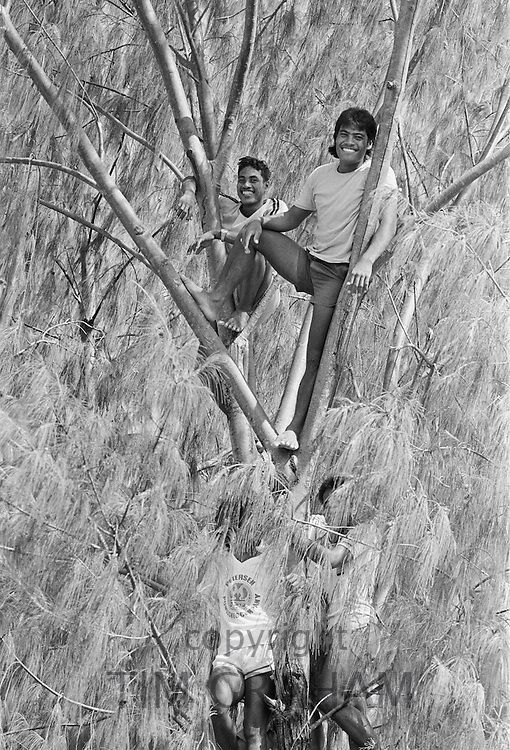 South Pacific islanders climb a tree for a vantage point at tribal gathering in Kiribati, Gilbert Islands, South Pacific