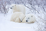 01874-11616 Polar Bears (Ursus maritimus) female and 2 cubs, Churchill Wildlife Management Area,  MB