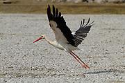 White Stork (Ciconia ciconia) In flight