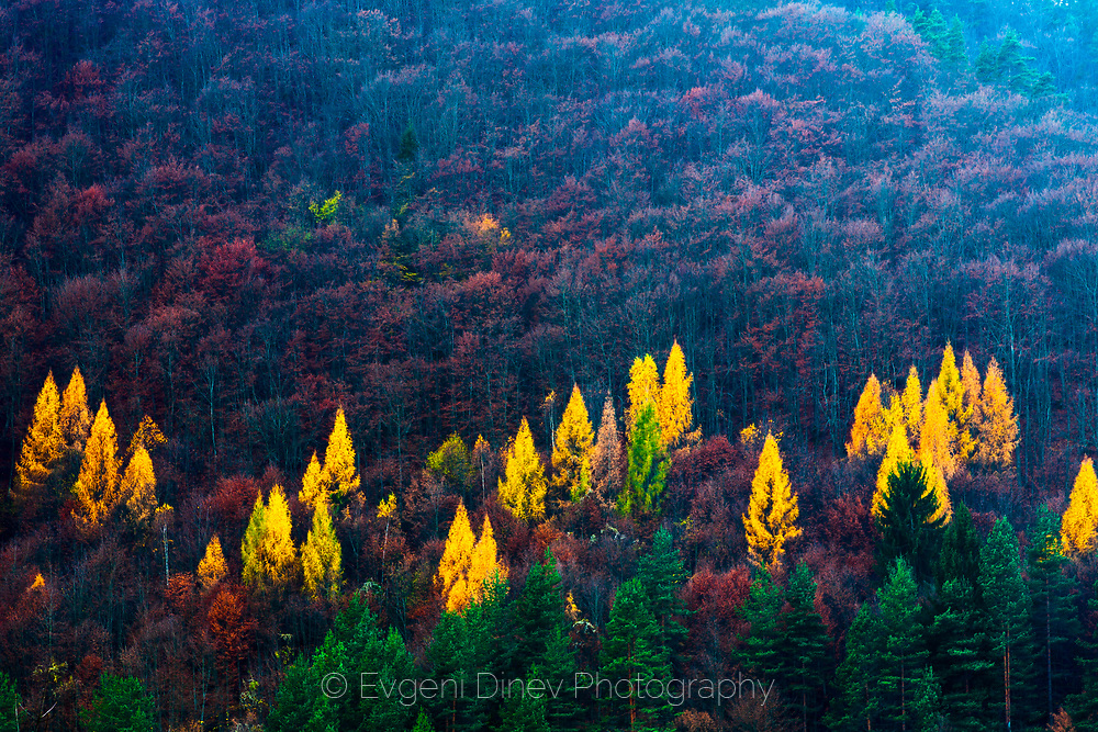 Yellow trees among a green pine forest