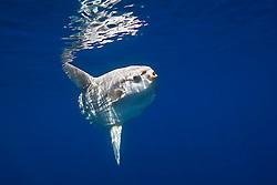 ocean sunfish, Mola mola, off San Diego, California, East Paficic Ocean