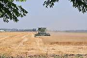 Israel, Jezreel Valley, Wheat harvest