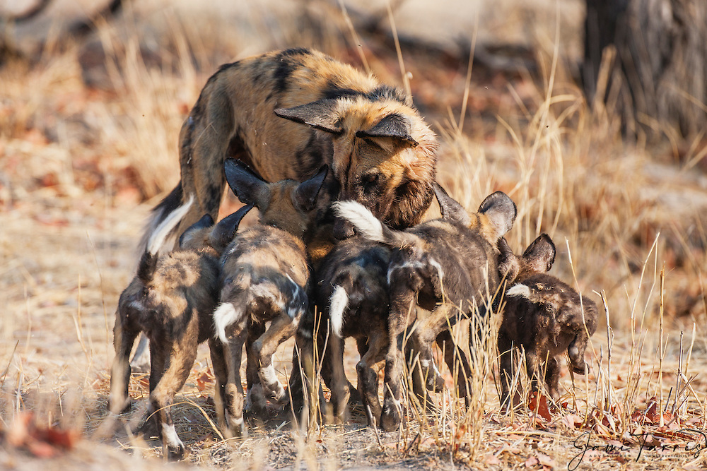 An endangered African wild dog female (Lycaon pictus) feeds her young pups after returning from the hunt, Khwai River, Moremi Reserve, Botswana, Africa