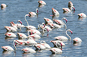 Greater flamingos (Phoenicopterus roseus) swimming in a lake in the Arusha National Park. Arusha, Tanzania.