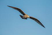 California Gull in flight.