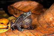 South American common toad (Rhinella margaritifera) calling<br /> Amazon, <br /> ECUADOR. South America