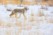 A coyote (Canis latrans) walks among the golden grasses in a snow-covered field in search of food in Yellowstone National Park, Montana.
