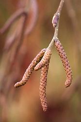 Catkins of Betula utilis var. jacquemontii 'Jermyns'. Himalayan birch