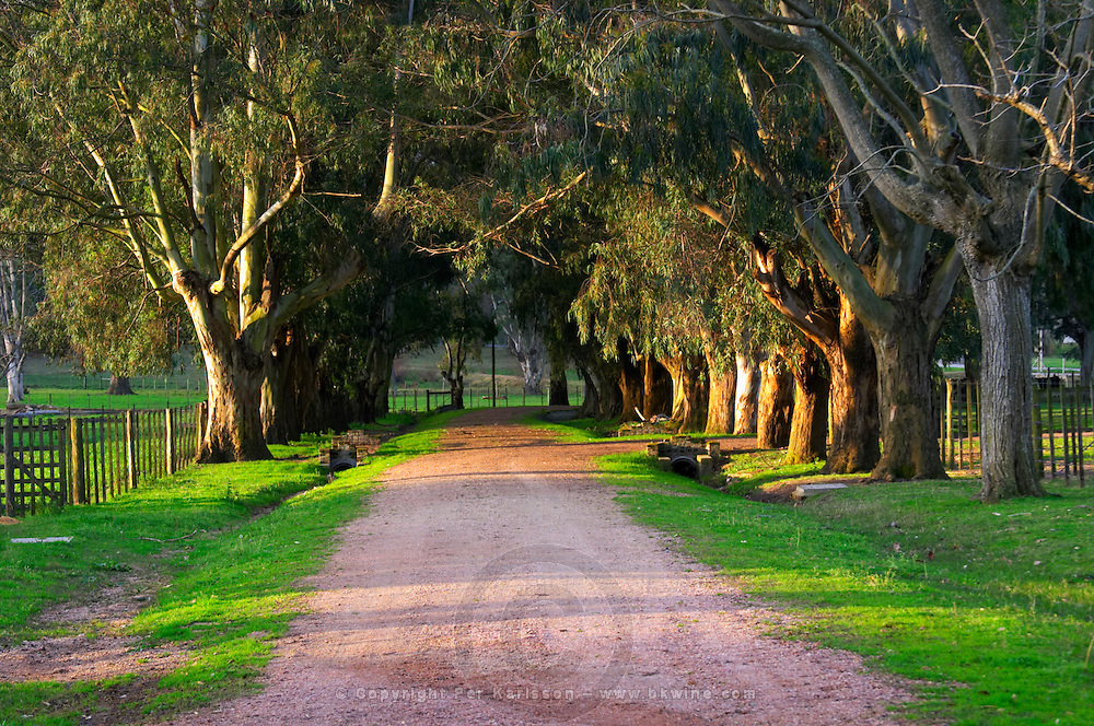 A tree lined country road at sunset bordered by eucalyptus trees. Montevideo, Uruguay, South America