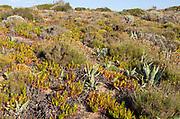 Vegetation Rota Vicentina Fishermen's Trail long distance coast path, Rogil, Algarve, Portugal