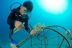 Riff-Gaertner bindet abgebrochene Korallen auf, Global Coral Reef Alliance, Kuenstliches Riff, Reef gardener attaching corals to artificial reef,  Pemuteran, Bali, Indonesien, Indopazifik, Bali, Indonesia Asien, Indo-Pacific Ocean, Asia