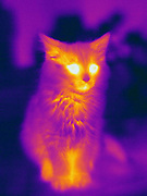 A Thermogram of a cat.  The different colors represent different temperatures on the object. The lightest colors are the hottest temperatures, while the darker colors represent a cooler temperature.  Thermography uses special cameras that can detect light in the far-infrared range of the electromagnetic spectrum (900?14,000 nanometers or 0.9?14 µm) and creates an  image of the objects temperature..