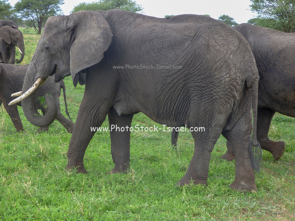 Africa, Tanzania, A herd of African Bush Elephant (Loxodonta africana) rest in the shade