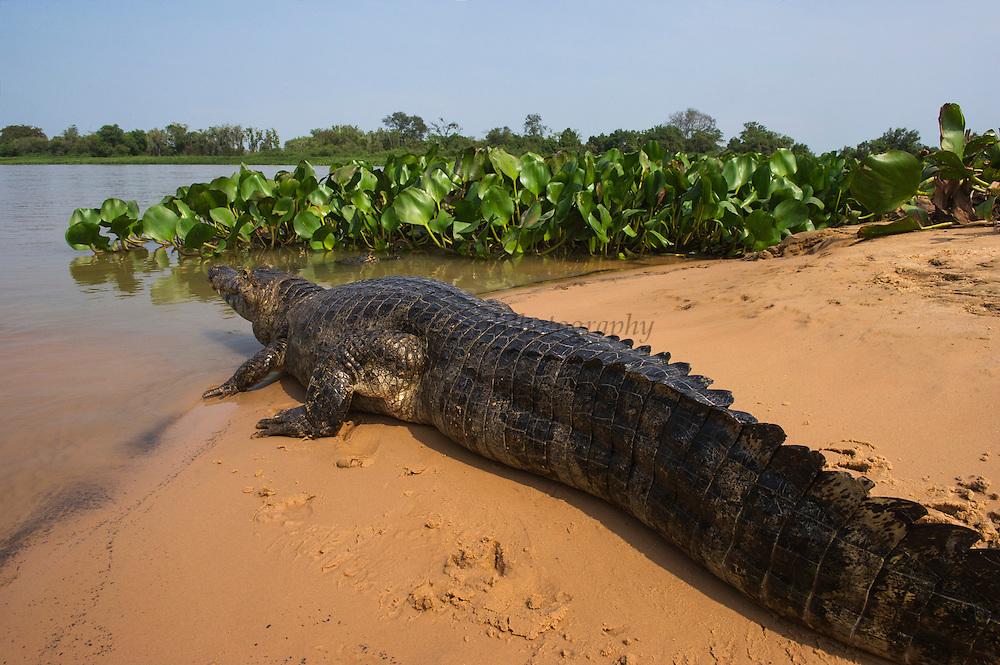 Caiman yacare (Caiman yacare)<br /> Northern Pantanal<br /> Mato Grosso<br /> Brazil