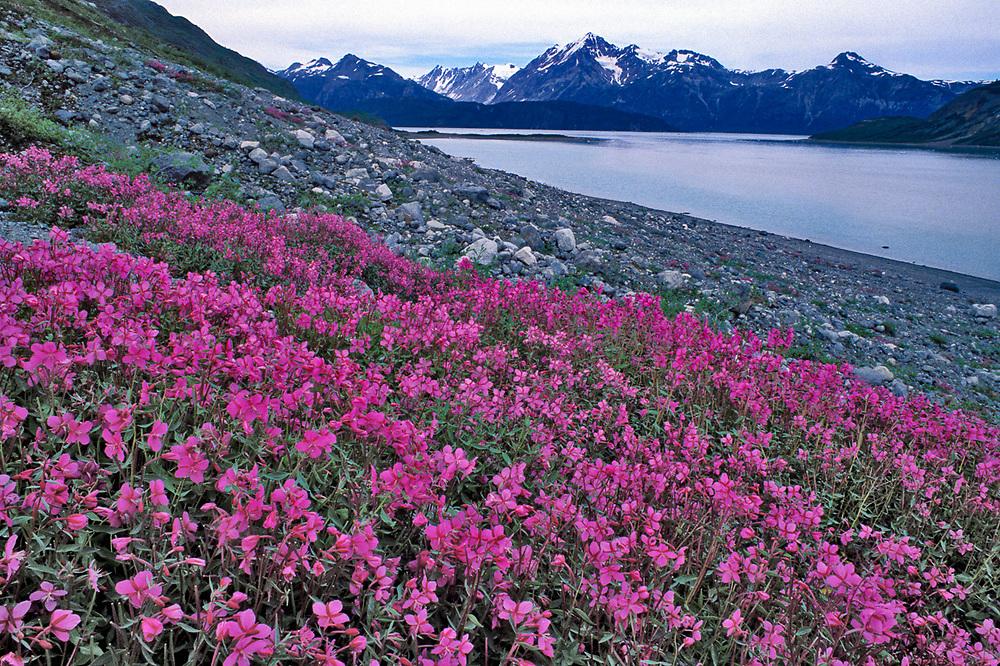 Dwarf fireweed, summer, John Hopkins Inlet, Glacier Bay National Park, Alaska, USA