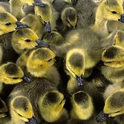Canada Goose, (Branta canadensis) Group of goslings huddled together. Captive Animal.